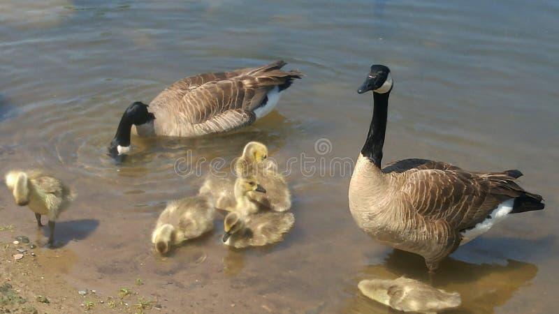 趟过在湖的加拿大鹅家庭 免版税库存照片