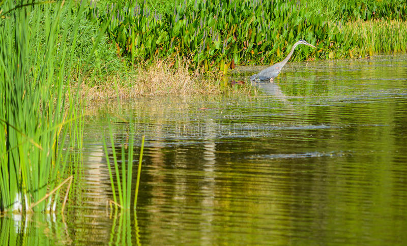 趟过在水中的一只蓝色苍鹭寻找食物在湖森密诺尔人的,佛罗里达森密诺尔人公园 免版税库存图片