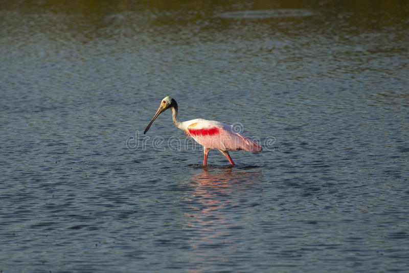 趟过在水中的粉红琵鹭在梅里特岛,佛罗里达 免版税库存图片