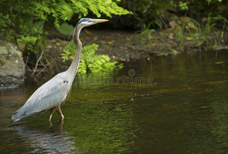 趟过在Eightmile河,牛津,康涅狄格的伟大蓝色的苍鹭的巢 免版税库存图片