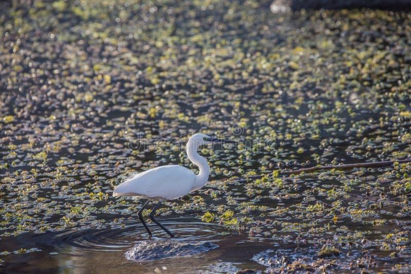 趟过通过沼泽的水的小白鹭 免版税库存照片