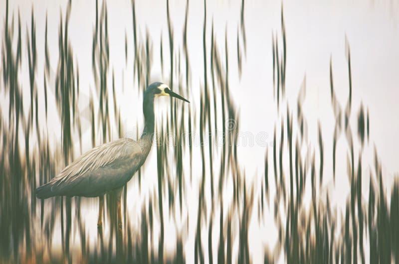 趟过通过芦苇的苍鹭 库存照片