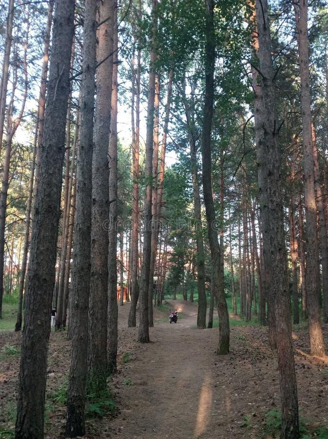 足迹在杉木森林里 免版税库存照片