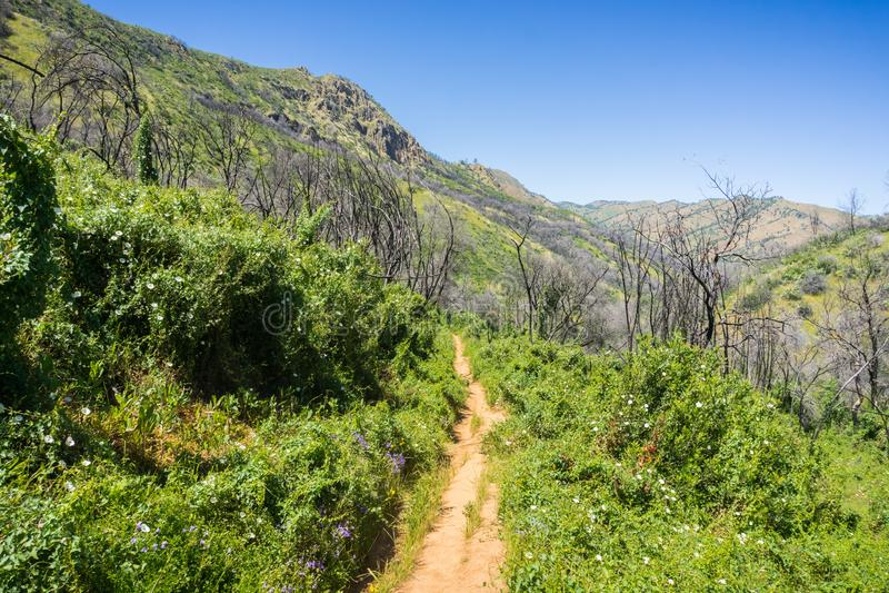 足迹排队与在绽放的牵牛花灌木;被烧的树在背景,Stebbins冷的峡谷,纳帕谷,加利福尼亚中 免版税库存图片