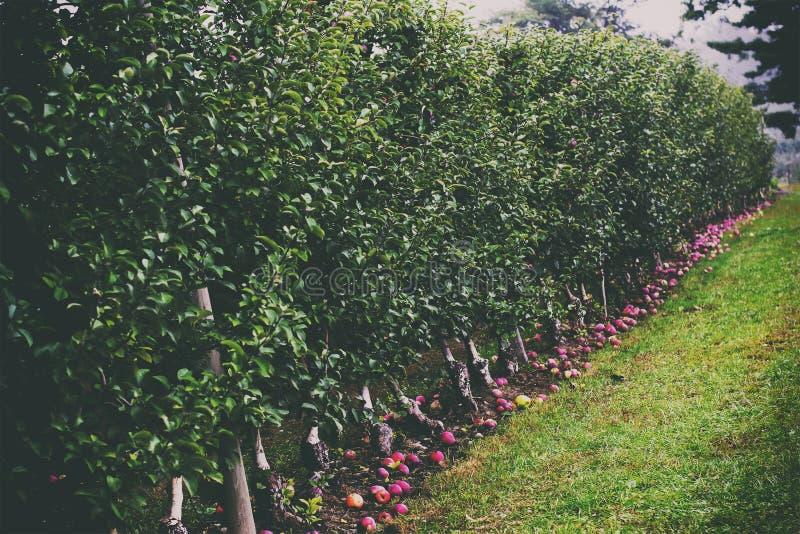 跌下树在10月苹果的远的射击  免版税库存照片