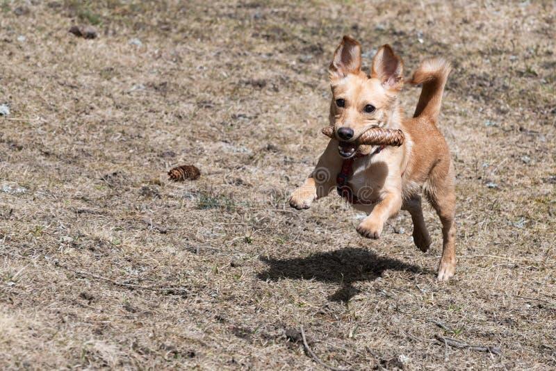 跑与在它的嘴的针叶树锥体的逗人喜爱的矮小的棕色狗在干燥草地早熟禾 库存图片