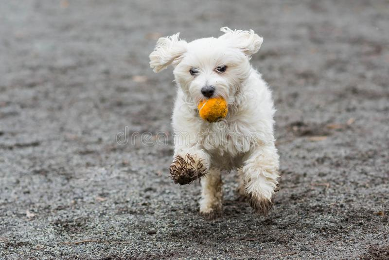 跑与橙色球的狗 图库摄影