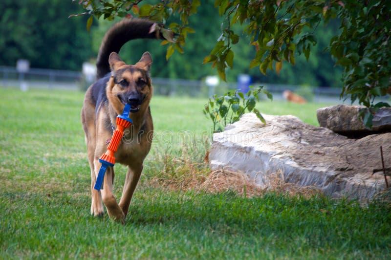 跑与玩具的德国牧羊犬 免版税库存图片