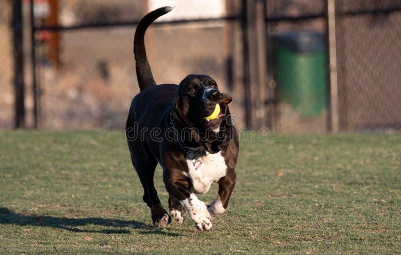 跑与球的滑稽的贝塞猎狗 图库摄影