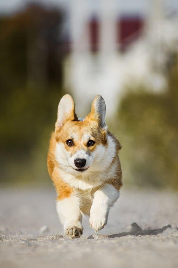 跑与舌头的滑稽的面孔威尔士小狗彭布罗克角狗 免版税库存图片