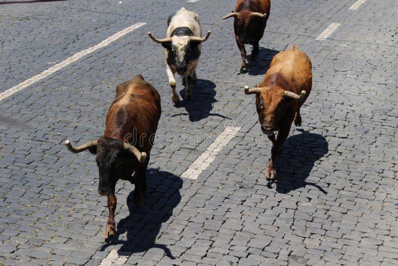 跑公牛在亚速尔群岛 库存照片