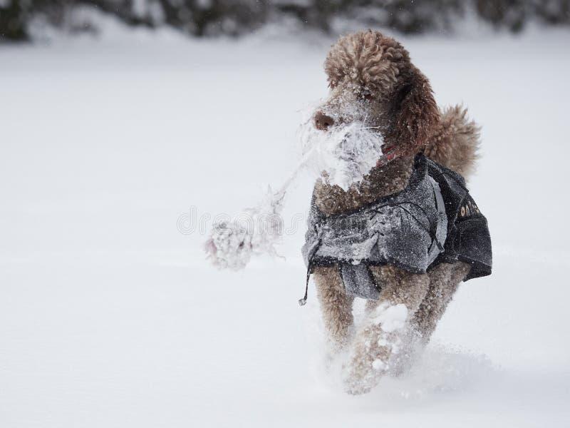 跑和享用雪的狗在一个美好的冬日 图库摄影
