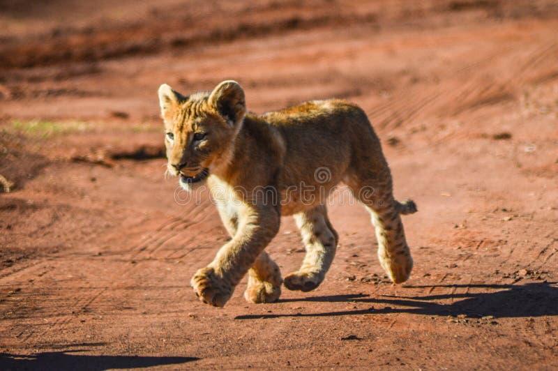 跑和使用在一种比赛储备的逗人喜爱和可爱的棕色幼狮在约翰内斯堡南非 免版税库存图片