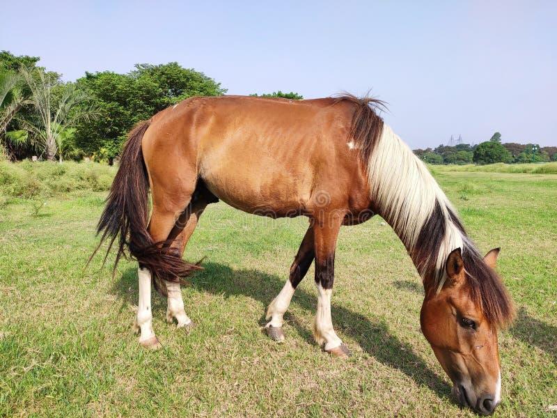 跑和站立和吃草,长的鬃毛,棕色马疾驰,在高草的棕色马身分的马在日落光 库存照片