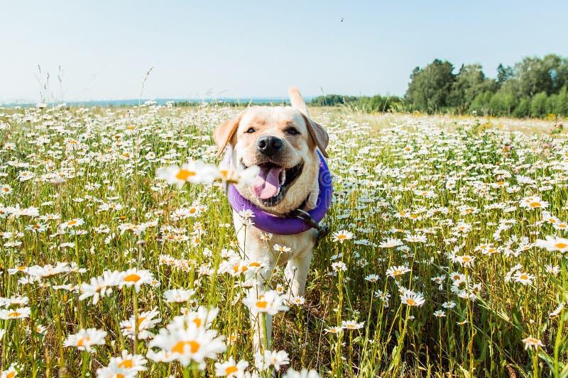 跑和笑在camomiles的拉布拉多狗 免版税库存照片