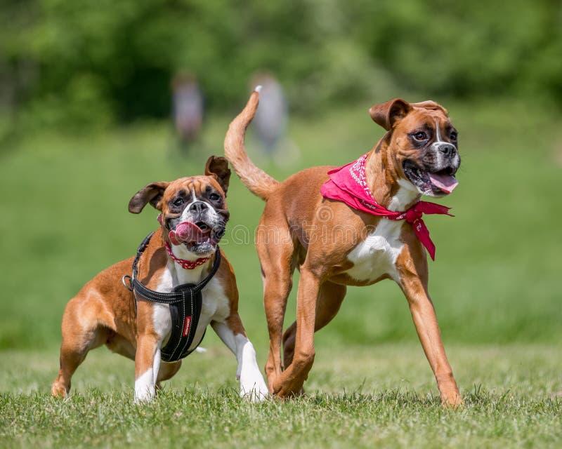 跑和跳跃往照相机的两条德国拳击手狗 库存图片