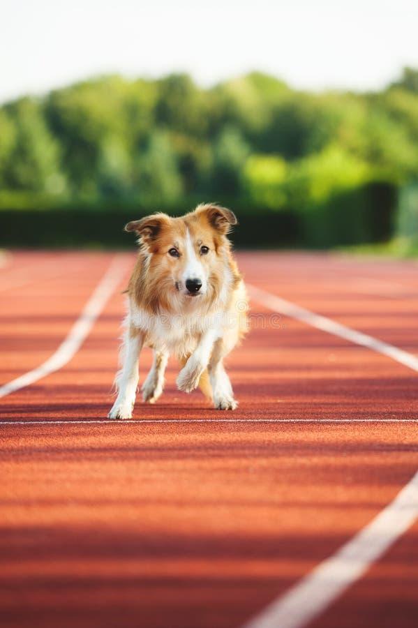 跑在体育体育场的狗 免版税库存照片
