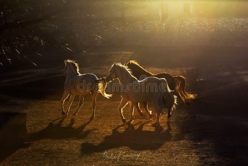 跑在农场的一个小组美丽的马在日落在卡帕多细亚 免版税库存照片