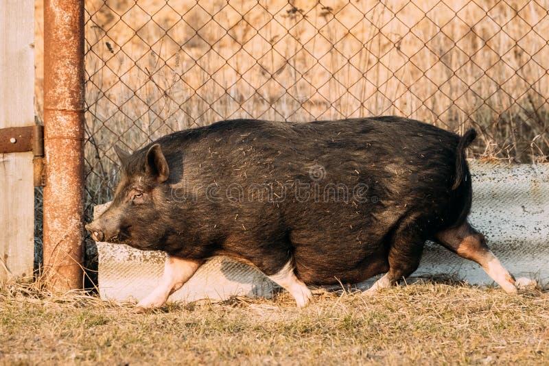 跑在农场的家庭黑猪 养猪上升 库存图片