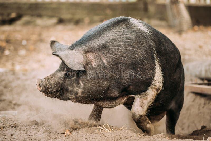 跑在农场的滑稽的家庭A大黑猪 库存照片