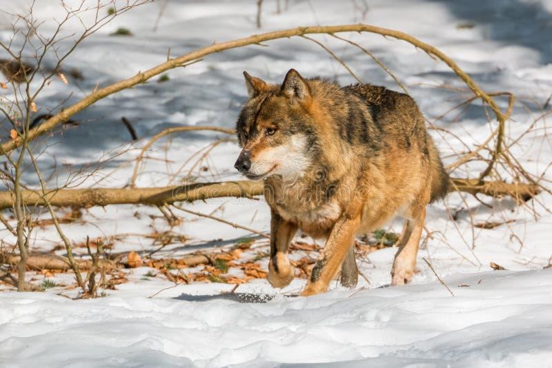 跑在冬天森林里的狼 库存图片