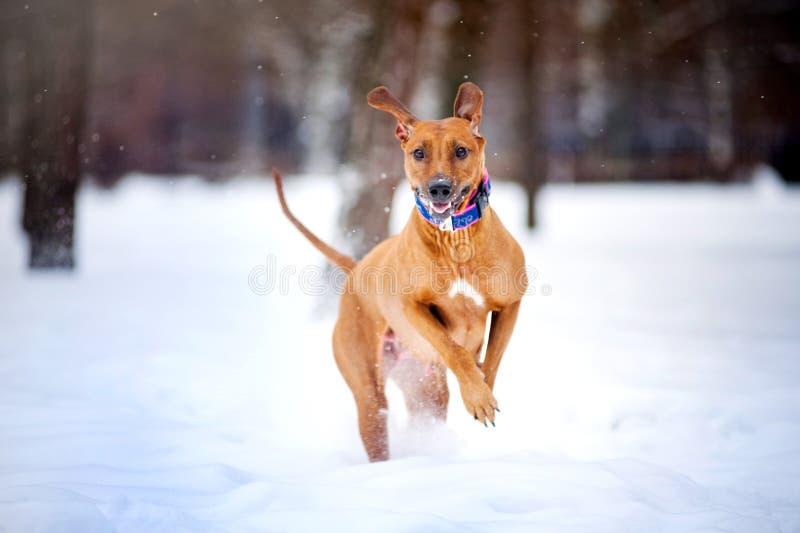 跑在冬天的可爱的Rhodesian Ridgeback狗 库存图片