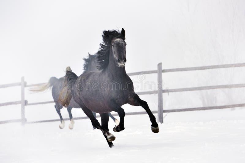 跑在冬天的美丽的马 库存图片