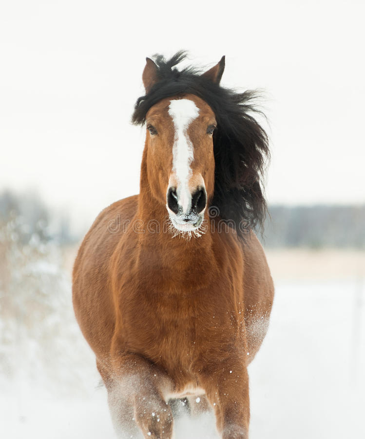 跑在冬天的黑马画象 免版税库存图片