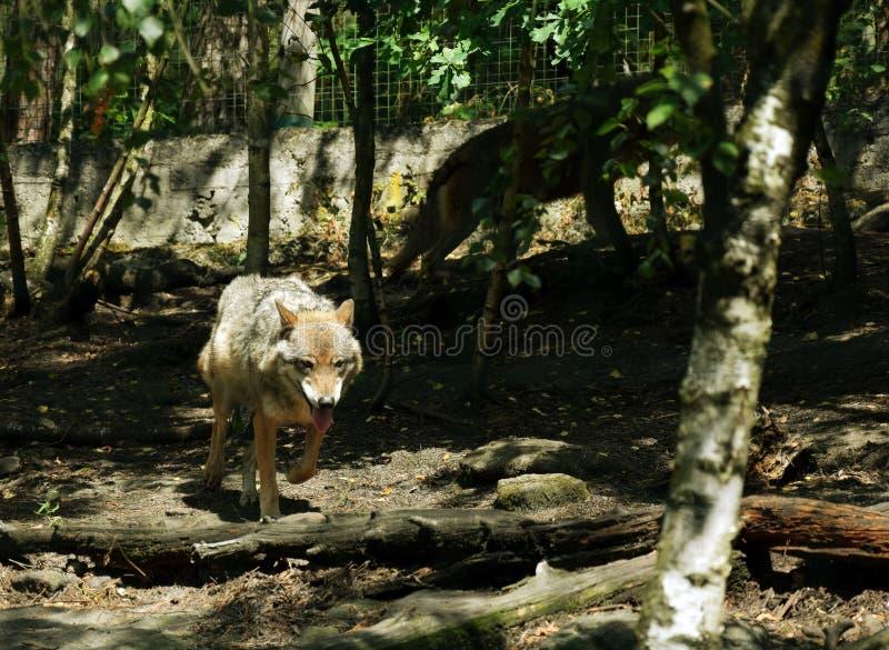 跑在动物园里的狼 图库摄影