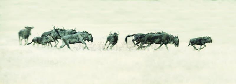 跑在卡拉哈里艺术性的conver的一个平原的跳羚牧群 库存照片