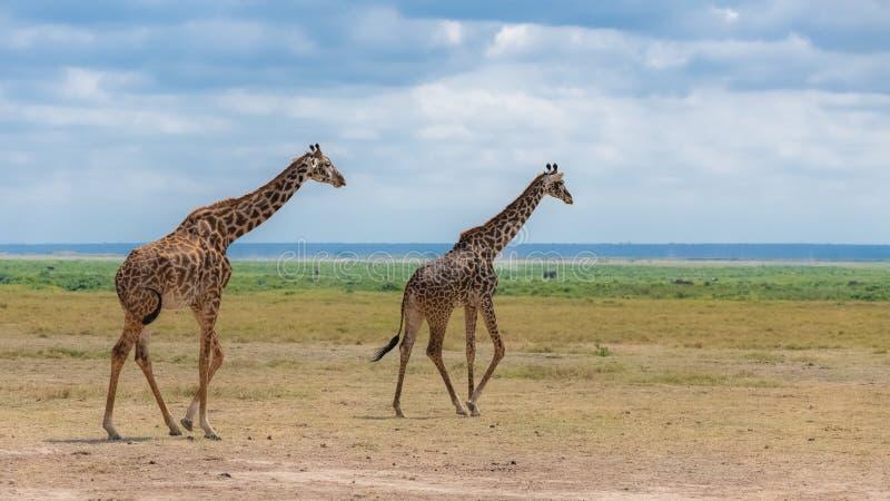 跑在大草原的野生长颈鹿 免版税库存图片
