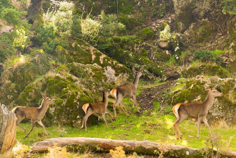 跑在帕尼萨山山的鹿牧群在希腊 库存图片