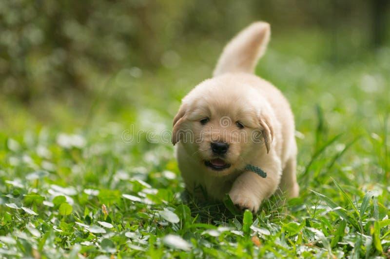 跑在庭院里的逗人喜爱的金毛猎犬小狗 免版税库存图片