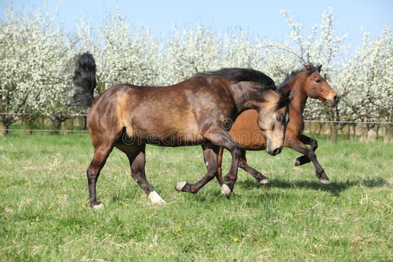跑在开花的树前面的短距离冲刺的马和hutsul 免版税库存图片