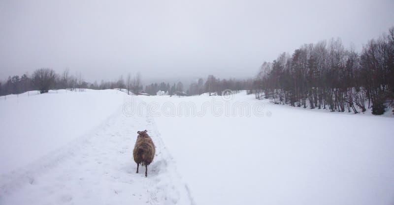 跑在往森林的雪的冰岛绵羊 库存图片