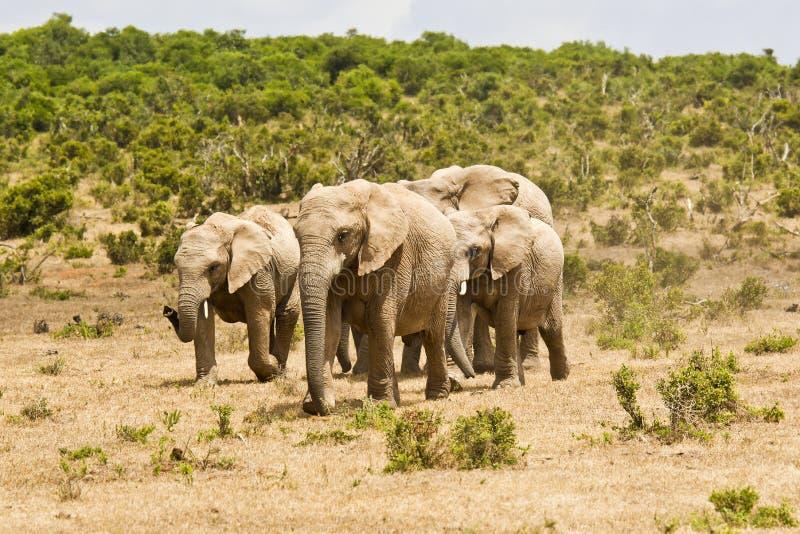 跑在往waterhole的干燥地面的非洲大象家庭 免版税库存图片