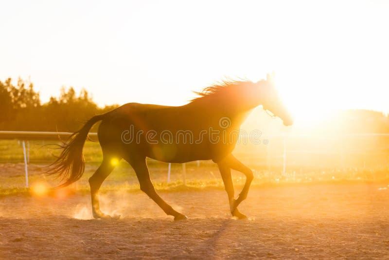 跑在日落的挂锁的纯血统马 图库摄影