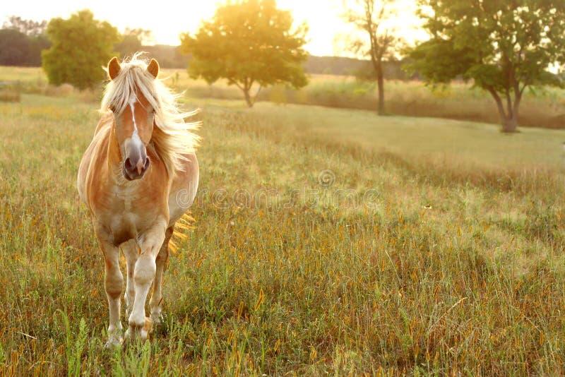 跑在日落的马 免版税库存照片