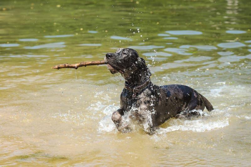 跑在水中的德国大型猛犬用在嘴的棍子 免版税库存照片