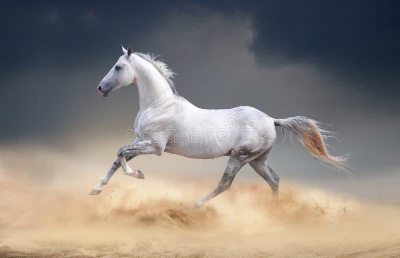 跑在沙漠的Akhal-teke马 免版税库存图片