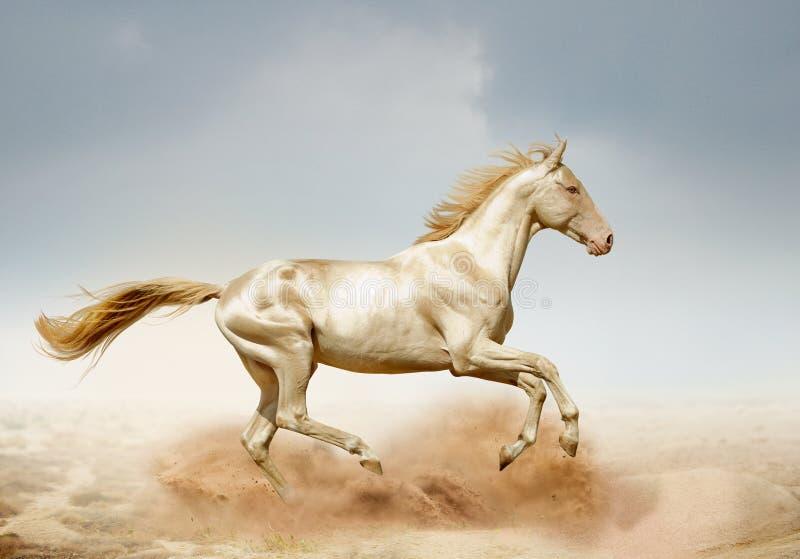 跑在沙漠的Akhal-teke马 免版税库存照片