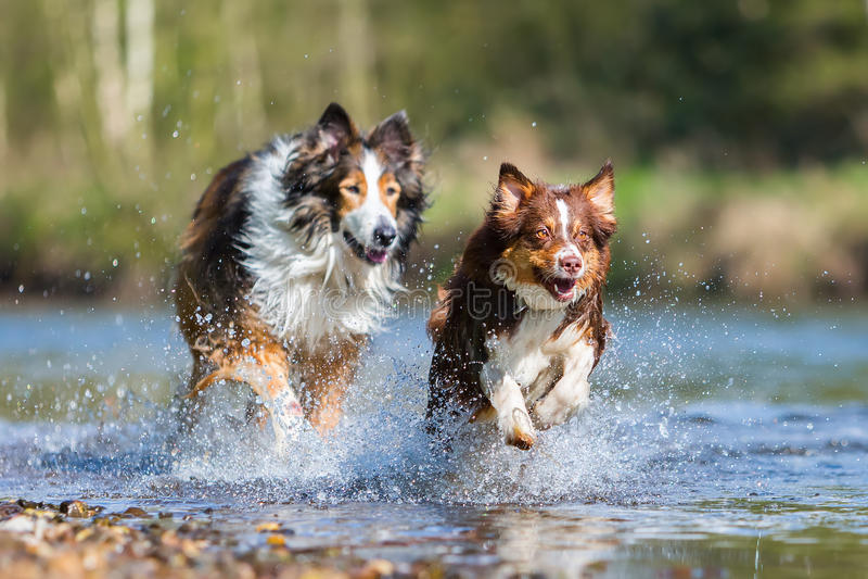 跑在河的大牧羊犬混合狗和澳大利亚牧羊人 图库摄影