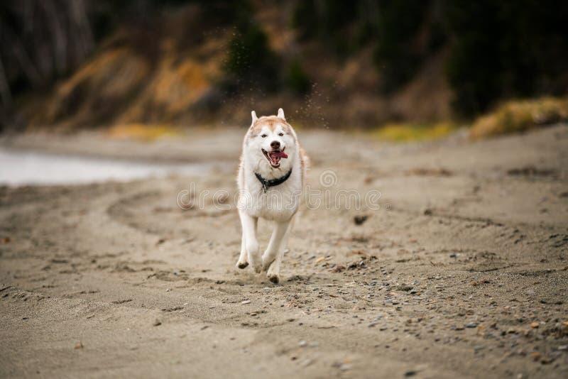跑在海滩的愉快和滑稽的灰棕色和白色西伯利亚爱斯基摩人狗的图象在海边在秋天 免版税库存照片