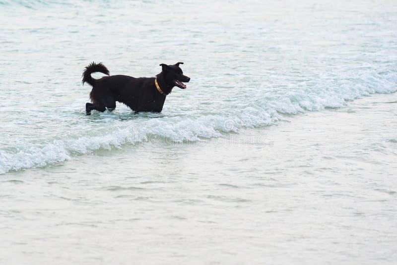 跑在海滩的狗 狗在海 ?? 图库摄影