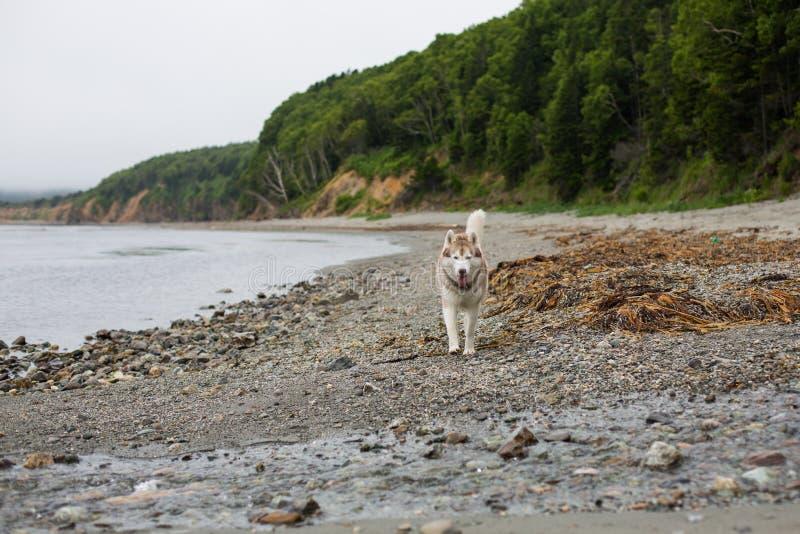 跑在海滩的逗人喜爱的米黄和白色西伯利亚爱斯基摩人狗的图象在海边 免版税库存照片