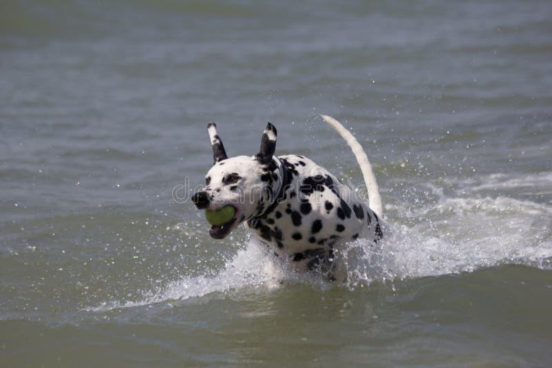 跑在海的达尔马希亚狗 免版税图库摄影