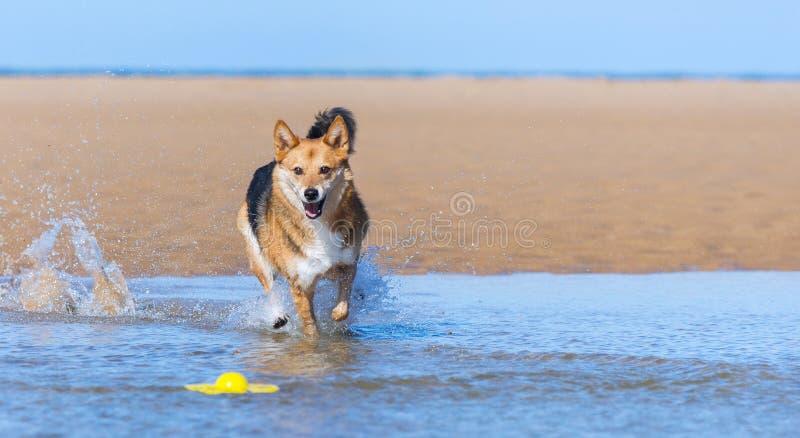 跑在海滩的愉快的狗 库存图片