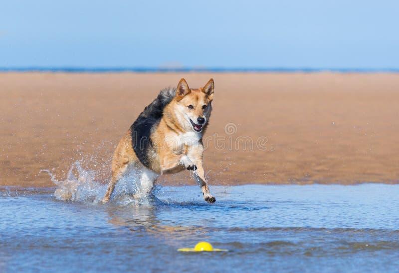 跑在海滩的狗 库存照片
