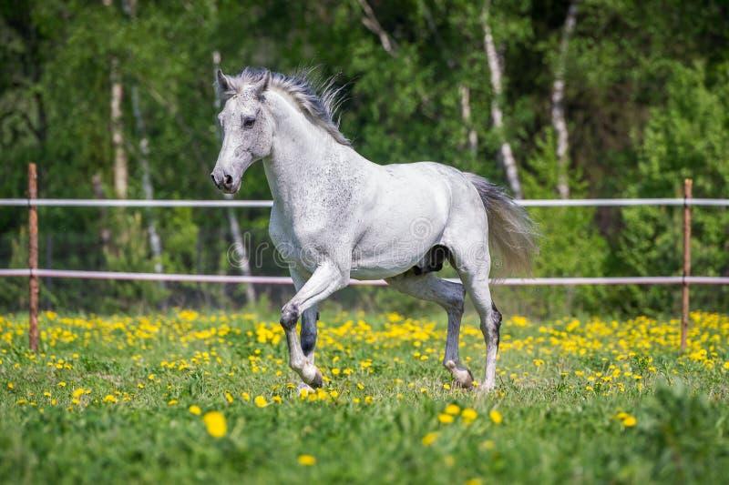 跑在牧场地的白马在夏天 库存图片