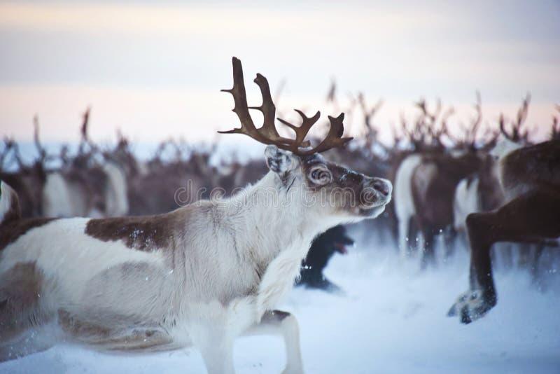 跑在牧群的驯鹿 库存图片